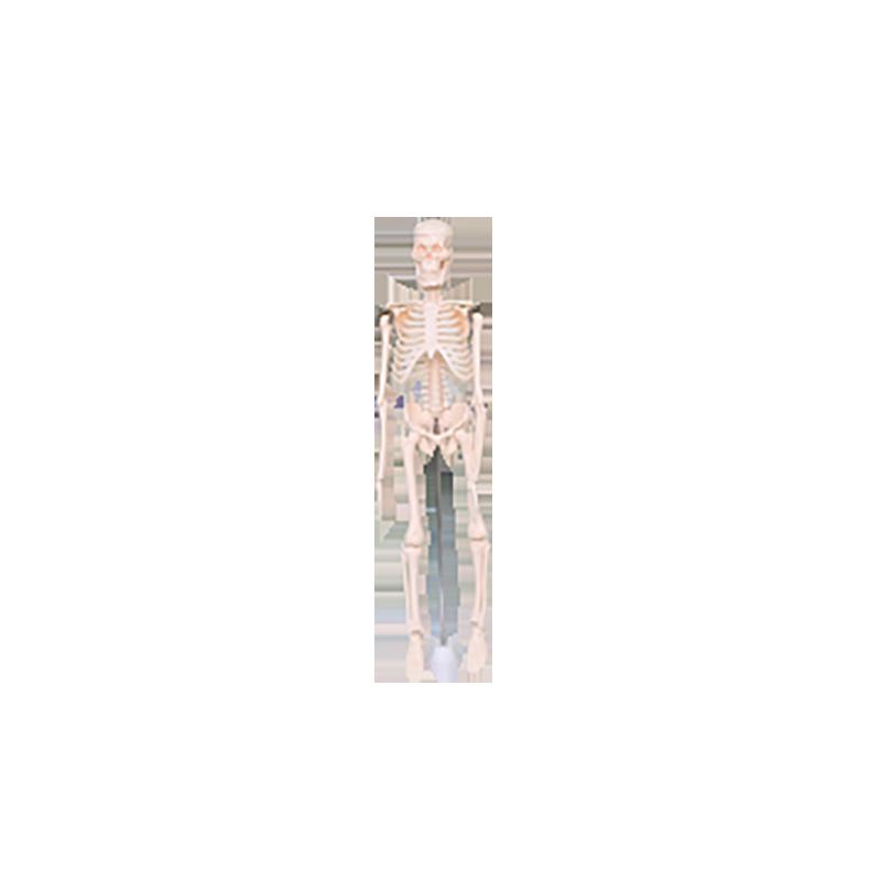 39051 儿童骨骼模型