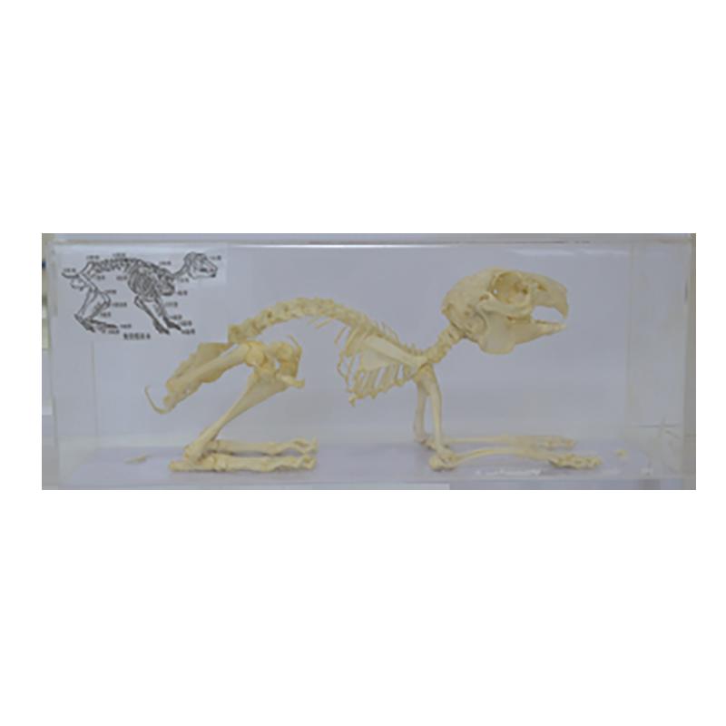 43106 兔骨骼标本